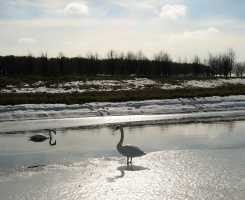 Minsk_ice_Lake_Swans
