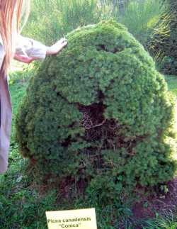 Minsk Botanical Garden Conica Tree